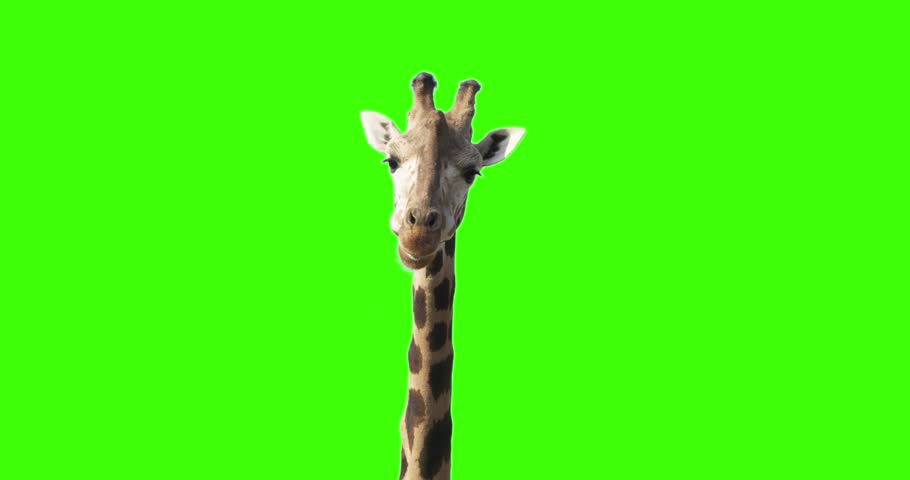 Green screen shot of a giraffe looking to the camera while eating stops few seconds blinks one eye and continues eating.