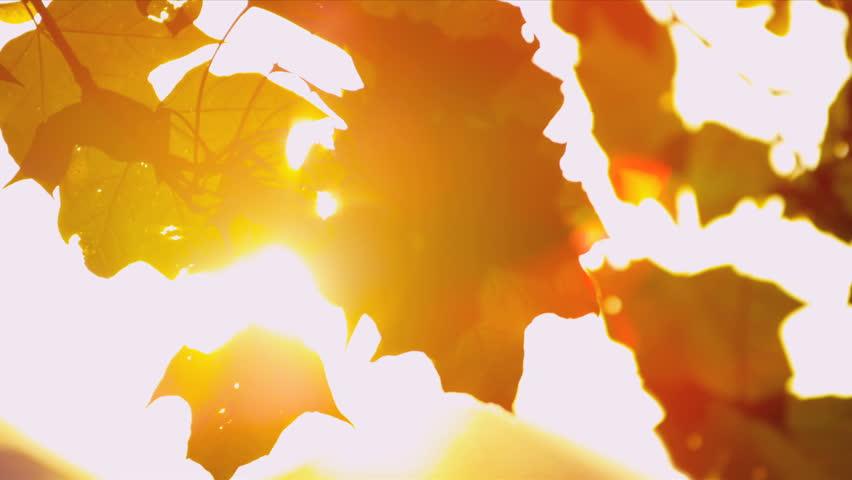 Sun shining through fall leaves blowing in breeze #3276260