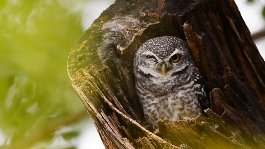 The spotted owlet (Athene brama) in a tree hollow | Shutterstock HD Video #32790607