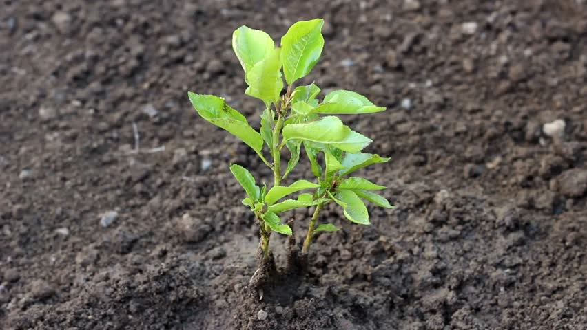 Beautiful real life footage, Seeding,Seedling,Male hand watering young plant over green background,seed planting. Young tree in the garden, Sliding camera shoot , video for nature and environment. UHD #32831245