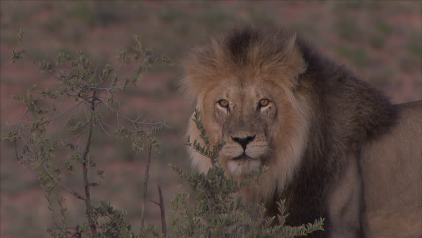 Male Lion roaring Royalty-Free Stock Footage #32841379
