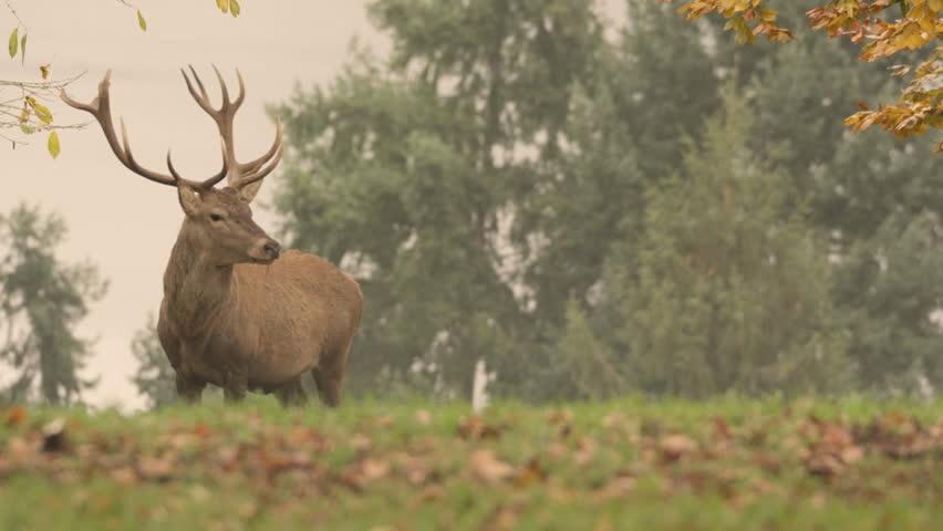 red deer in rutting season - 5k red epic footage