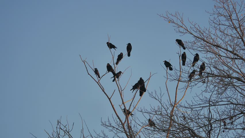 Flock of raven birds sitting on a tree autumn dry branches of trees.   Shutterstock HD Video #32865685