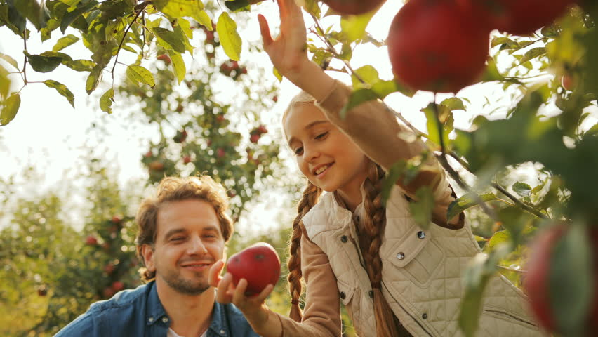 Close up of red apples hanging on the apple tree and a cute little girl plucking one ripe apple on which her father pointing, than they hugging. Apple trees garden. Outdoors