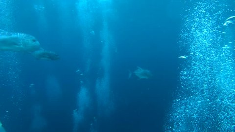 school of Giant trevally - Caranx ignobilis float between air bubbles in the blue water, Indian Ocean, Maldives