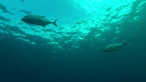 school of Giant trevally - Caranx ignobilis swims in the blue water, Indian Ocean, Maldives