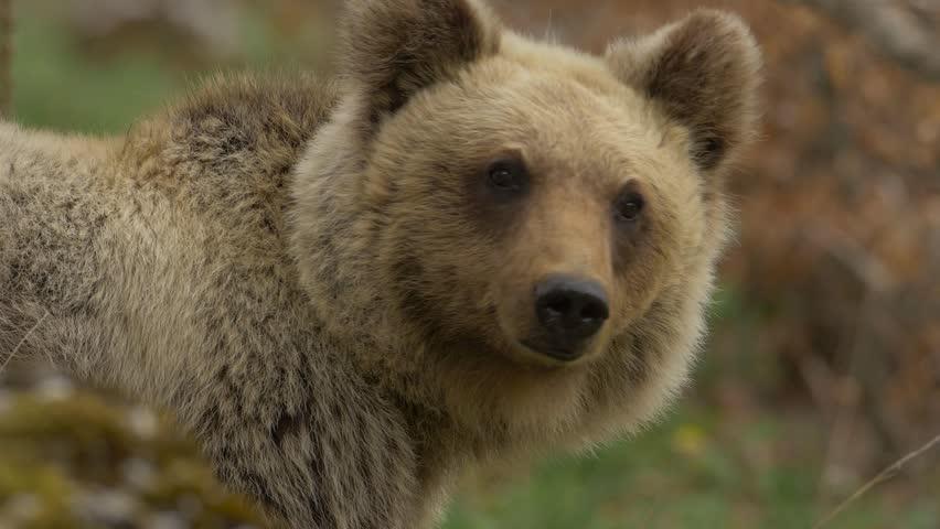 Apennine brown bear (Ursus arctos marsicanus) | Shutterstock HD Video #33114721