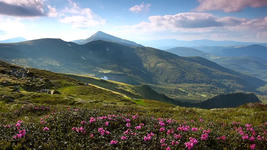Magic pink rhododendron flowers on summer mountain. Carpathian, Ukraine. HD
