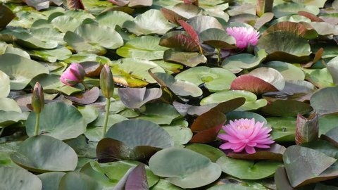 Lily pads in koi pond.
