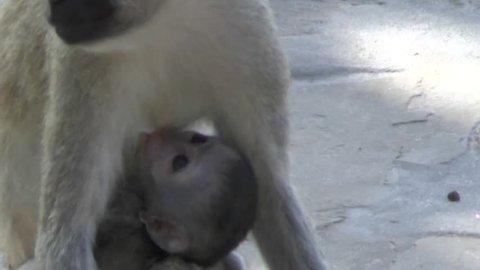 Monkeys in a hotel plant Kenya