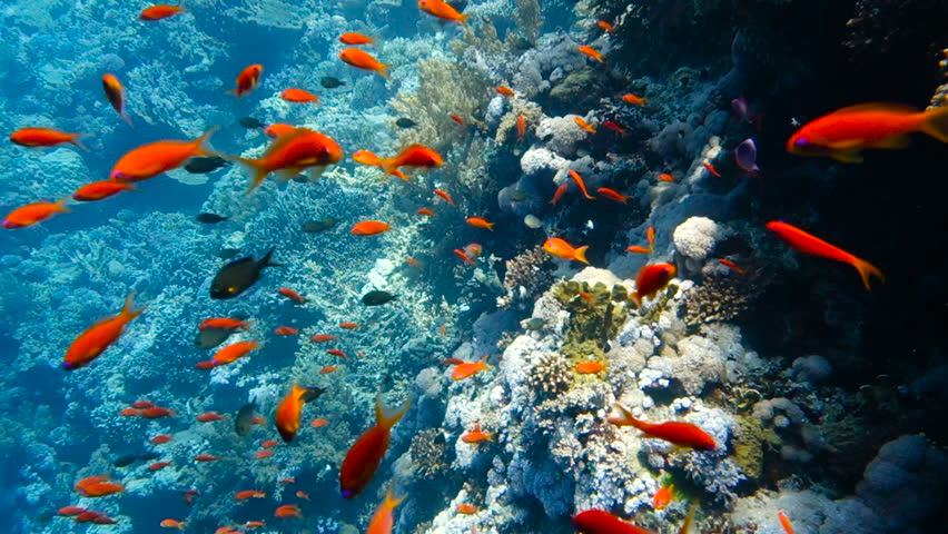 School of tropical fish in a colorful coral reef with water surface in background, Red sea, Egypt. Full HD underwater footage. #33169858