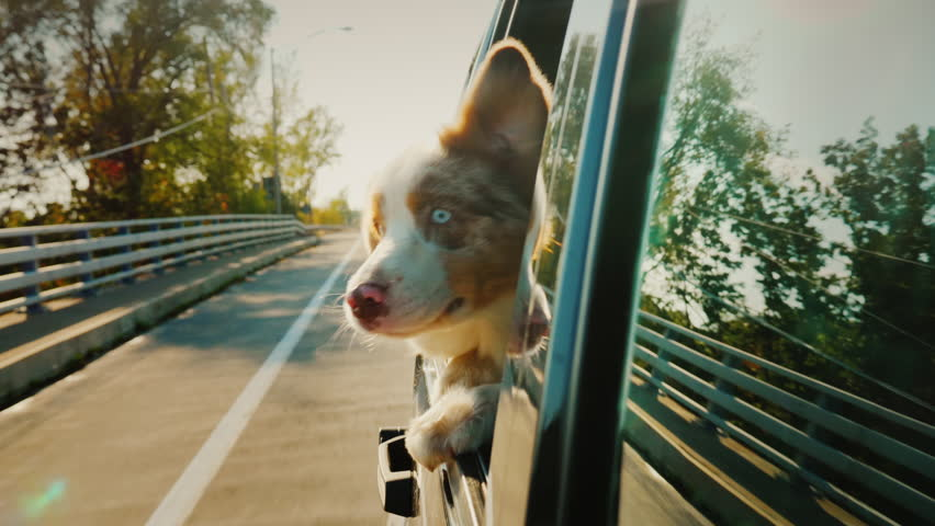 A surprised dog looks out the window of the car. Traveling with a pet #33173407