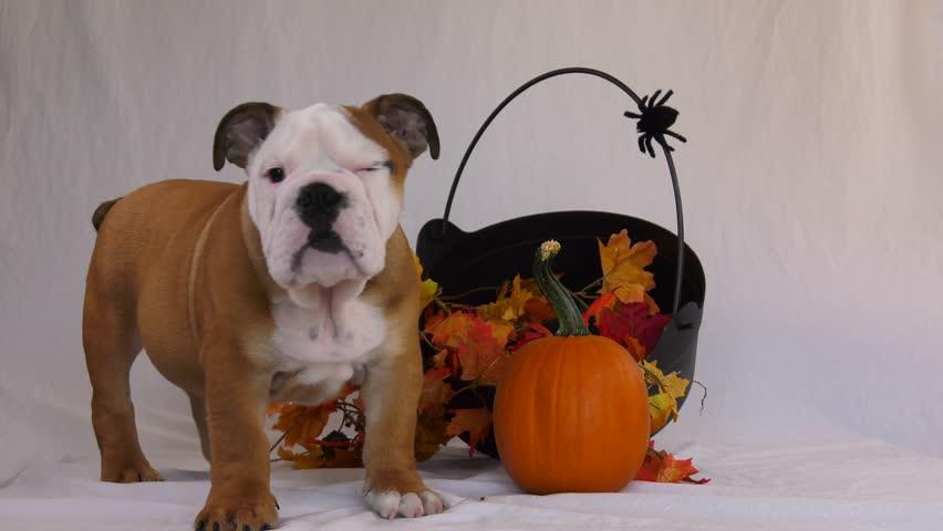 English bulldog puppy halloween scene   Shutterstock HD Video #33237772