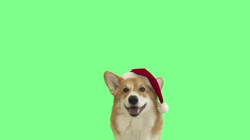 Muzzle dog in santa claus hat on green screen | Shutterstock HD Video #33262294