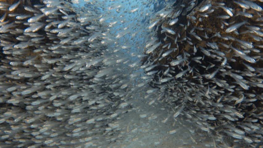 An moving shot going upward of a school of small fish swarming a coral reef.