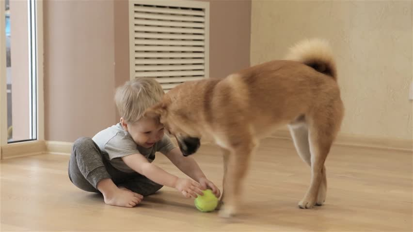 Laughing little baby boy with his best friend Shiba Inu dog playing with ball at home