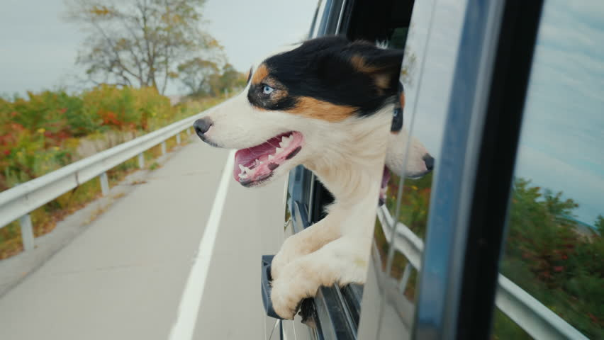 Funny video with animals. The dog goes to the car, looks surprised from the window #33415825
