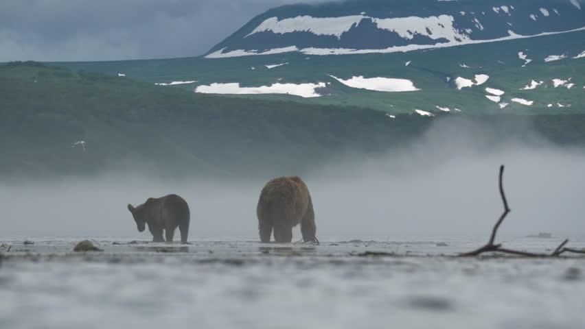 Wild bears of Kurile Lake, Kamchatka Peninsula