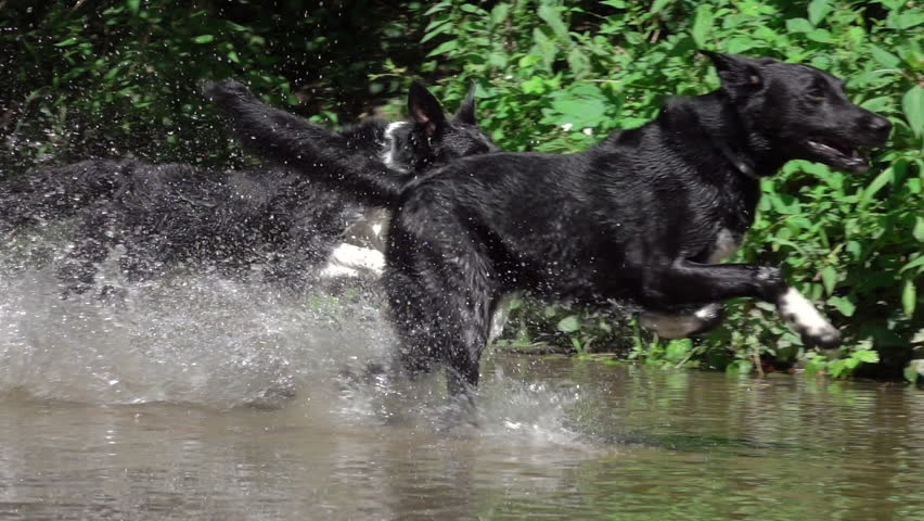 SLOW MOTION CLOSE UP: Three unleashed black dogs running wildly on rocky terrain and murky shallow river in sunny forest. Cheerful dogs with black coats playfully running in forest stream.