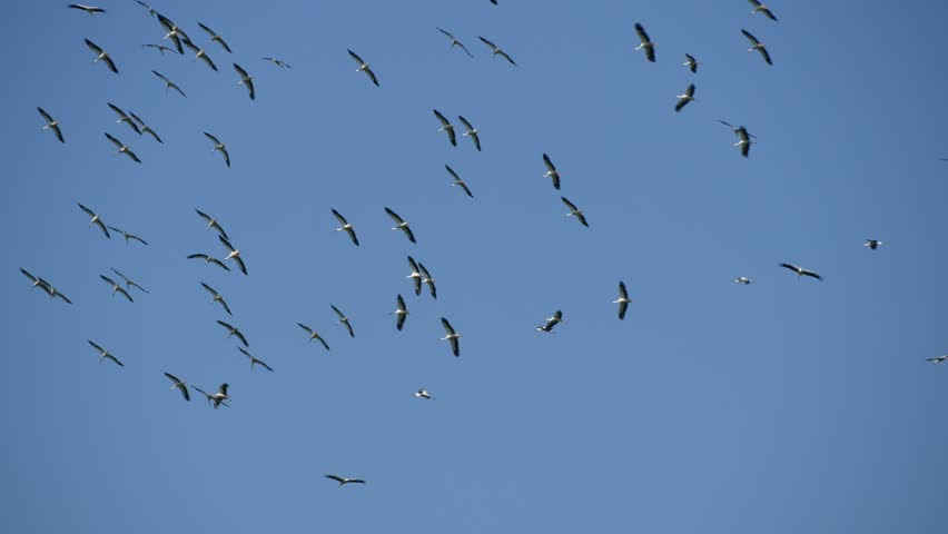 Big Group of Storks Flying in Circle High on the Sky (Ultra High Definition, UltraHD, Ultra HD, UHD, 4K, 3840x2160)