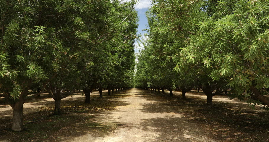 Almond trees cultivated in an orchard in the Salinas Valley, California USA | Shutterstock HD Video #33494806