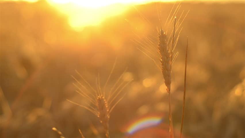 Head of wheat set against the sunset, the crop ready for harvest on an Australian farm.