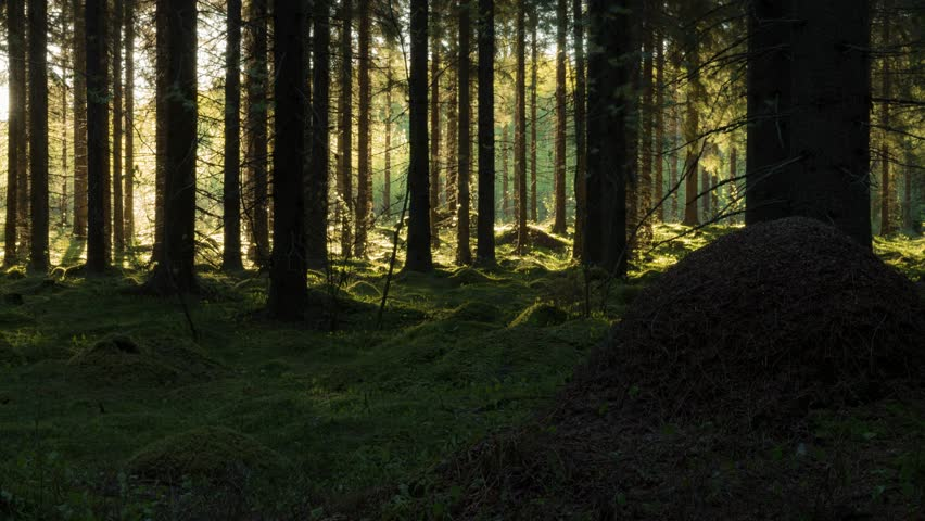 Time-lapse shot of tree shadows moving in a Finnish spruce forest with mossy ground.