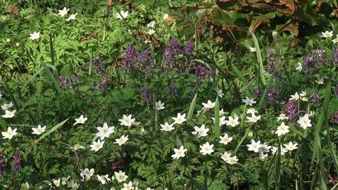 Wood anemones, anemone nemorosa and Bird in a bush, Corydalis solida blooming in spring.