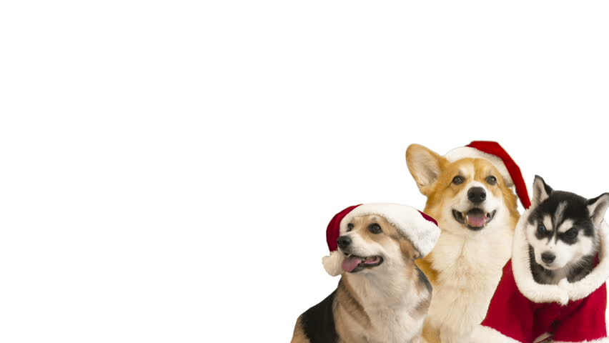 Welsh Corgi in Christmas clothes on a white background | Shutterstock HD Video #33674662