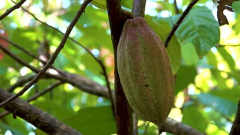 Close up of yellow-orange cacao cocoa fruit or pod in a sunny day on Theobroma cacao tree. Can Tho, Vietnam. Theobroma cacao also called the cacao tree and the cocoa tree
