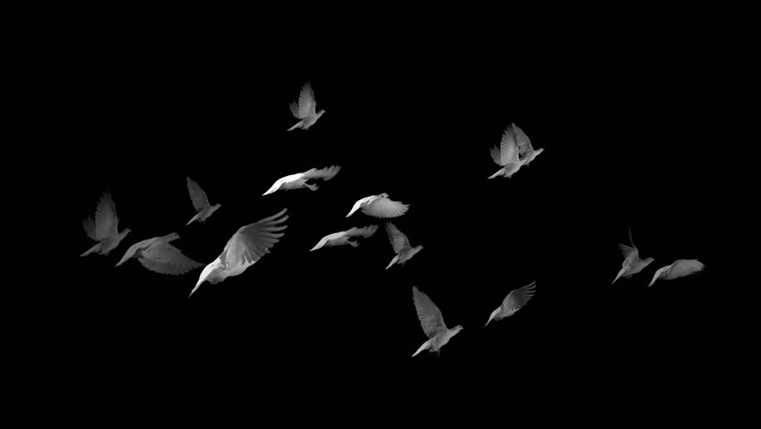 Doves flying - File has alpha channel