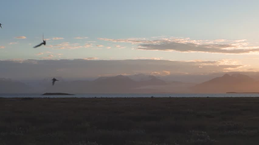 Arctic terns flying at beautiful sunset in Hofn, Iceland