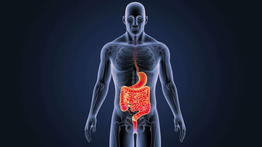 Digestive system closeup