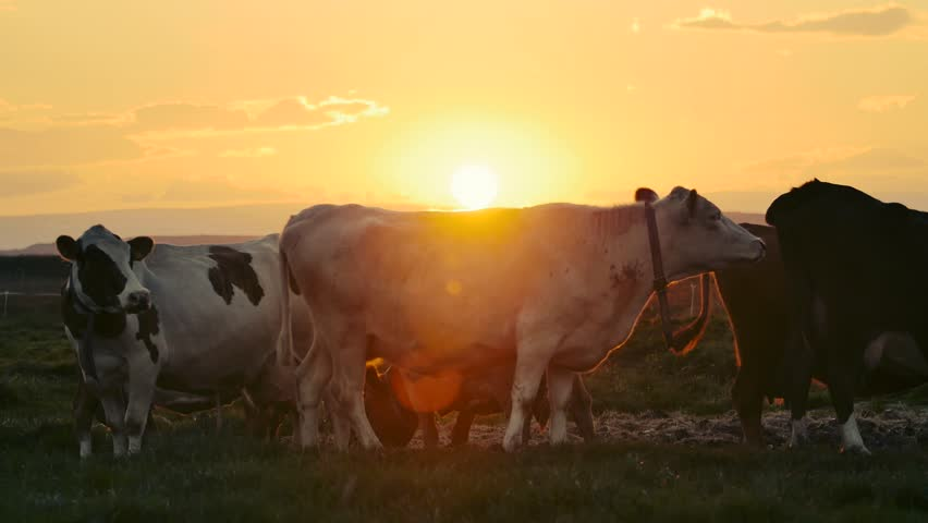 Herd of cows grazing in the dappled morning sunlight in a field in Iceland. cows in sunset. Modern farm barn with milking cows eating hay