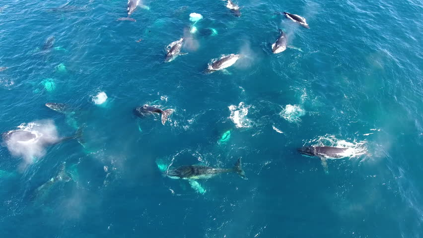 Drone flies slowly over huge pod of humpback whales