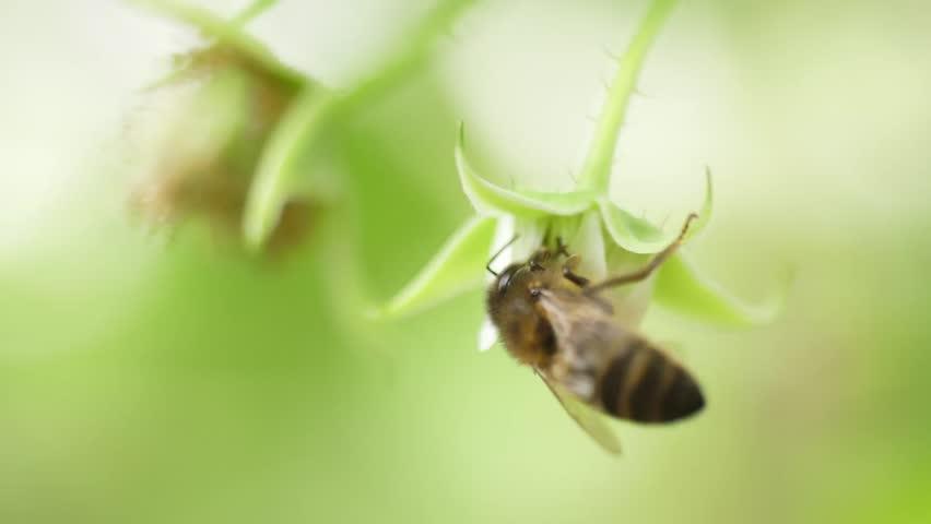 Honey bees on flower pollination macro shot   Shutterstock HD Video #33928459