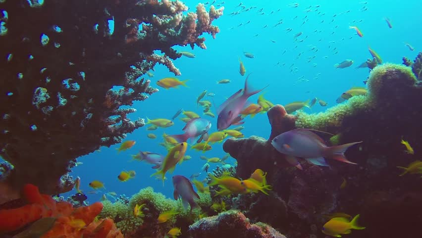 Coral Scene Reef Underwater. Picture of beautiful underwater colorful fishes and corals in the tropical reef of the Red Sea, Dahab, Egypt. | Shutterstock HD Video #33986641
