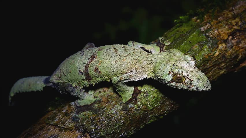 Giant Leaf-tailed Gecko (Uroplatus fimbriatus) in Ranomafana National Park, Eastern Madagascar. Gecko perches on a branch at night to prey on insects that pass by.