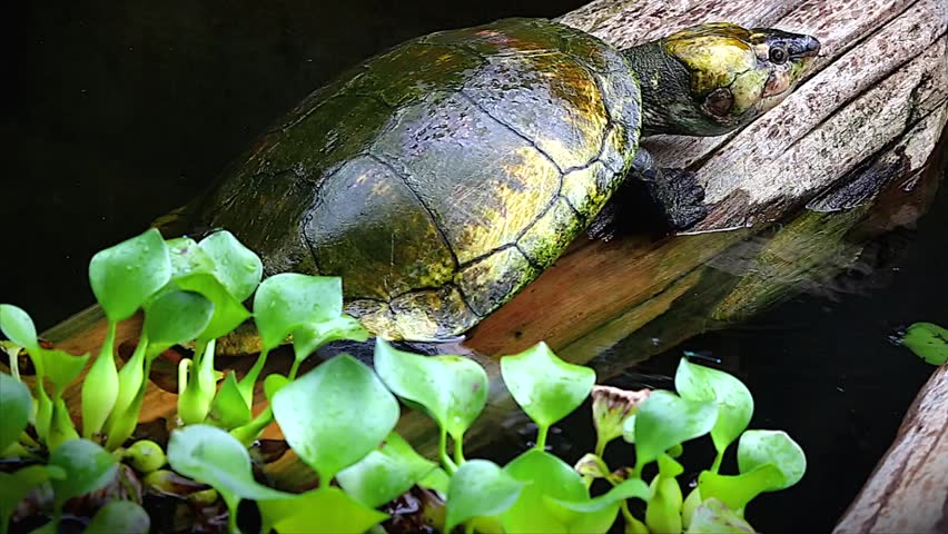 Critically Endangered Madagascan Big-headed Turtle Stock ...