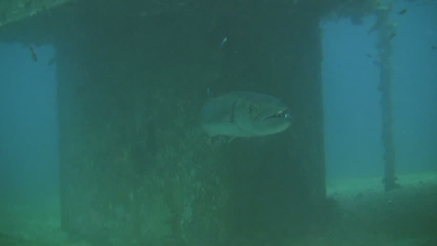 Great Barracuda, sphyraena barracuda under a sunken dry dock outside the island of Mindoro in the Philippines
