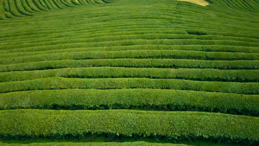 Aerial video of green tea plantation is locate nearby the hillside in Boseong city, South korea. Aerial video from drone. | Shutterstock HD Video #34036453