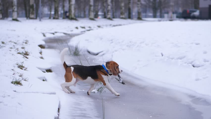 Playful dog walk across frozen trench with wooden stick in jaws, carefully step on thin ice and run to owner, bring back thrown branch. Young beagle play fetch game at snowy park, happy