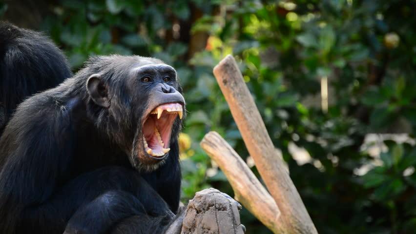 Common chimpanzee yawning showing all his teeth and fangs - Pan troglodytes