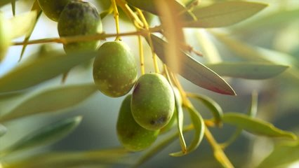 Olives. Ripe Olive on a tree. Growing Mediterranean Olives closeup. Olive oil. Healthy eating concept, diet. 4K UHD Video. Slow motion 120 fps