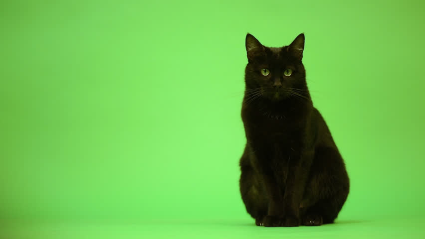 Black cat, mixed-breed, sitting and looking at the camera on green background
