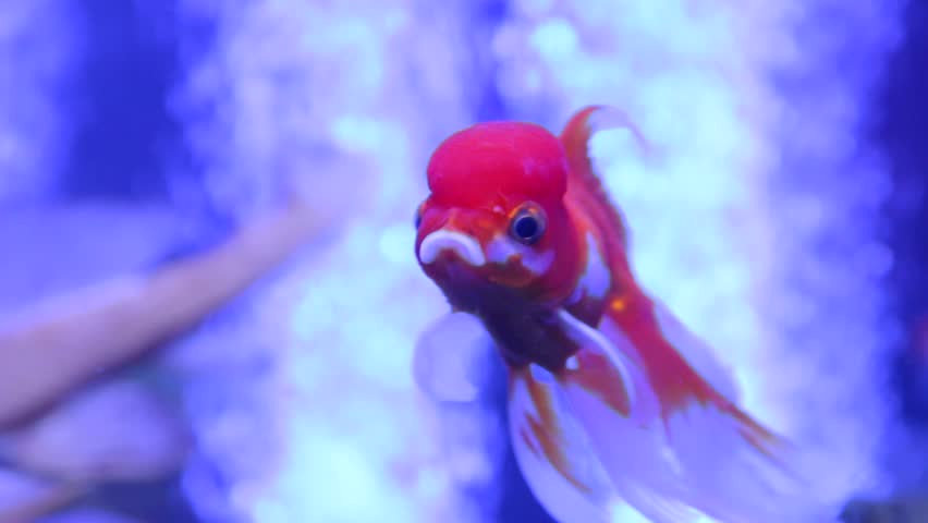 The goldfish oranda ranchu exotic