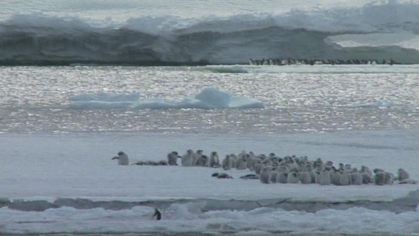 Emperor penguins on ice shelf