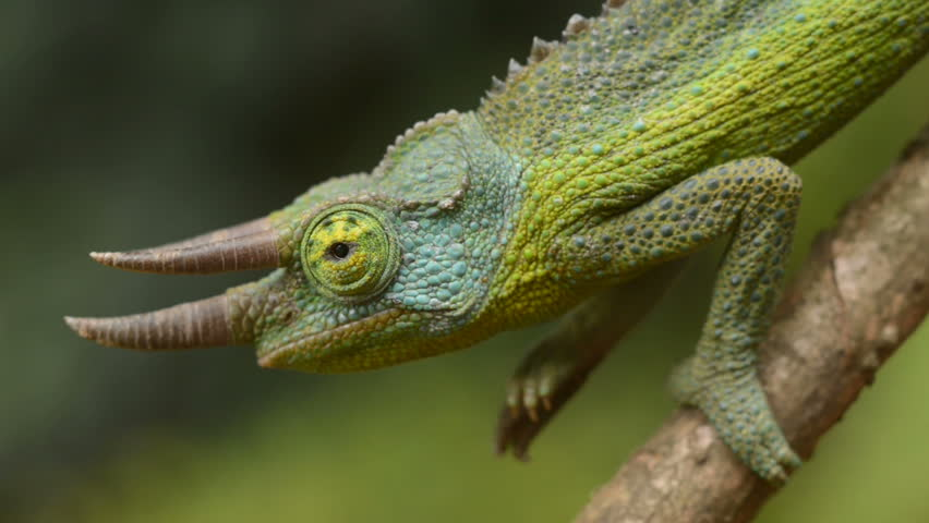 Jackson Chameleon Stock Video Footage 4k And Hd Video Clips
