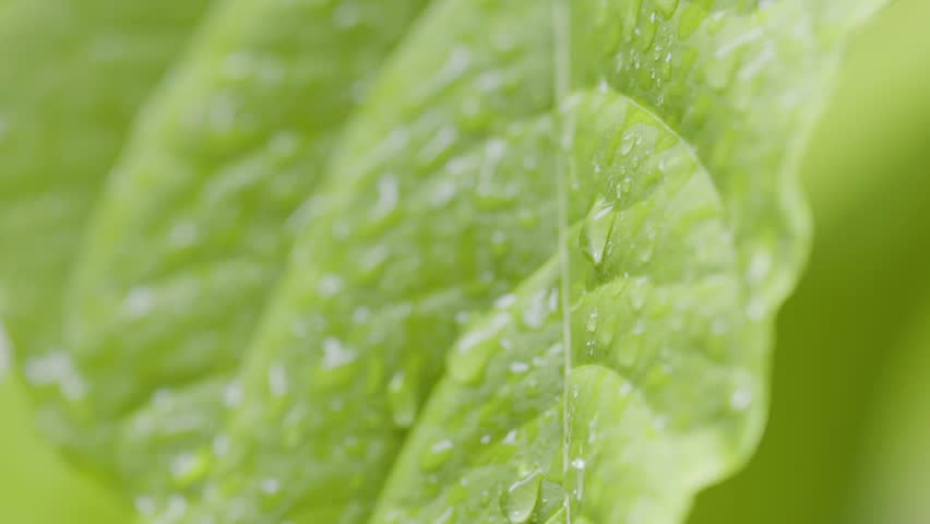 close up of rain drops on abstract tropical leaf in garden in slow motion #34402054