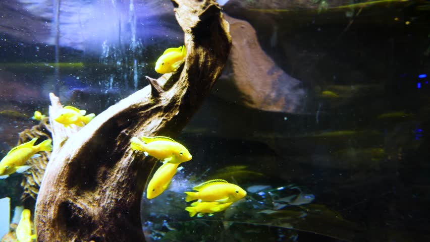 Cute fish in an aquarium. Yellow and Red Goldfish Swimming In Aquarium. Two Goldfish swimming in aquarium.
